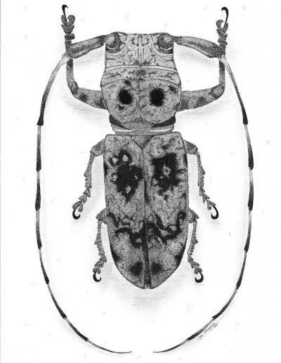 Tekening van een longhorn beetle