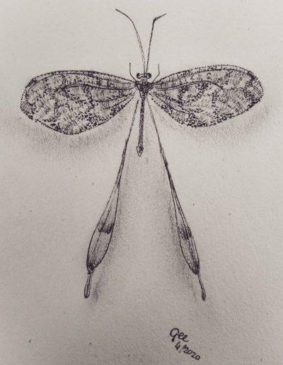 Nemoptera Sinuata
