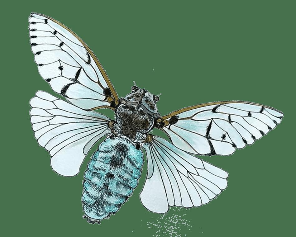 White ghost cicade