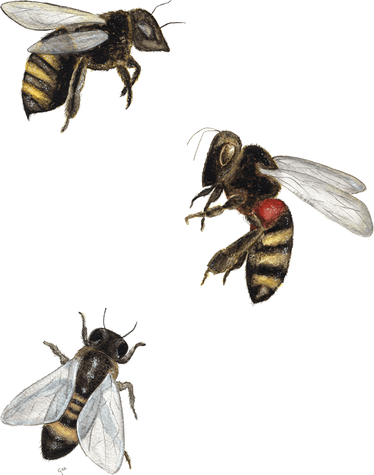 rode dwergbij zwarte dwergbij honingbij bijen