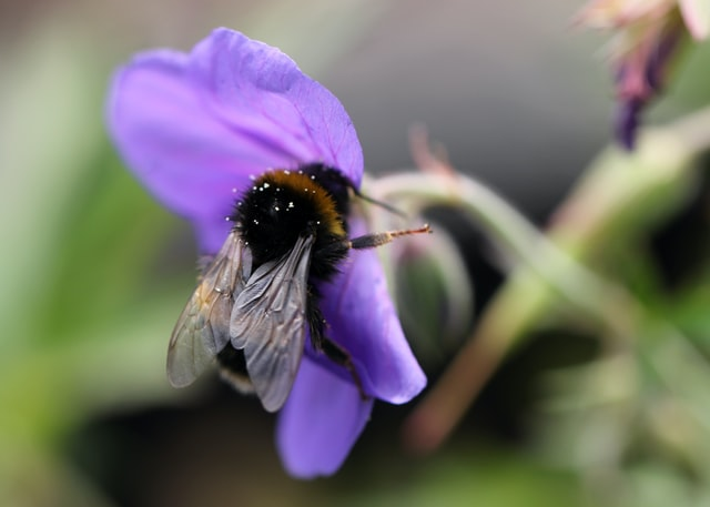 Hommel paarse bloemen