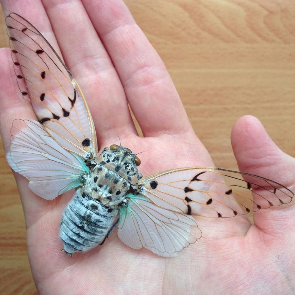 De invasie van de cicaden White Ghost Cicada